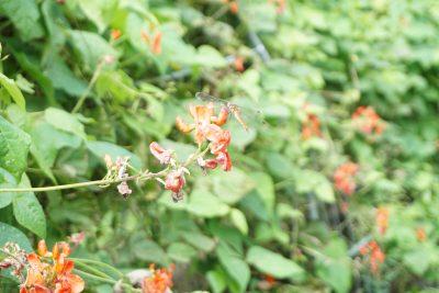 花豆とトンボ